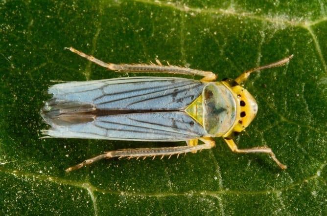 Cicadella viridis (Var, 2013) RG