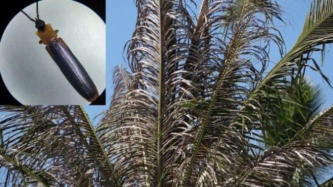 cocotier malade, infecté par le brontispa image la 1ere Nouvelle Calédonie