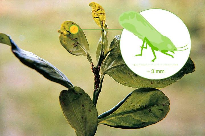photo des méfaits du Citrus Greening sur un agrume - crédit photographique Bayer