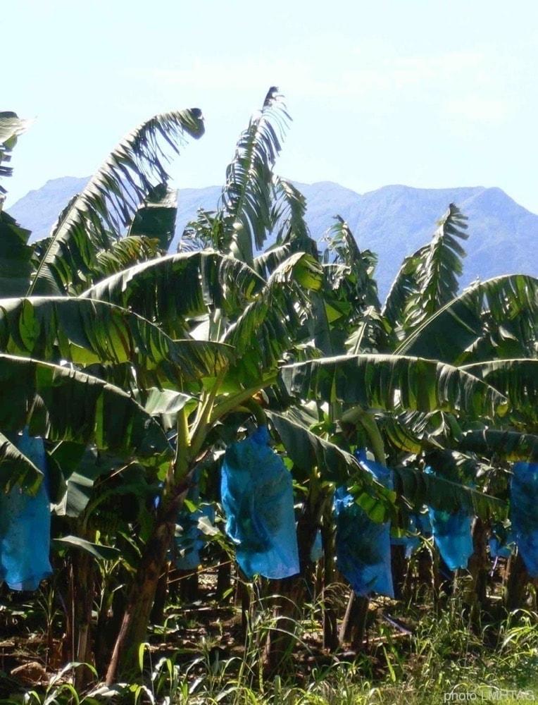 des bananiers