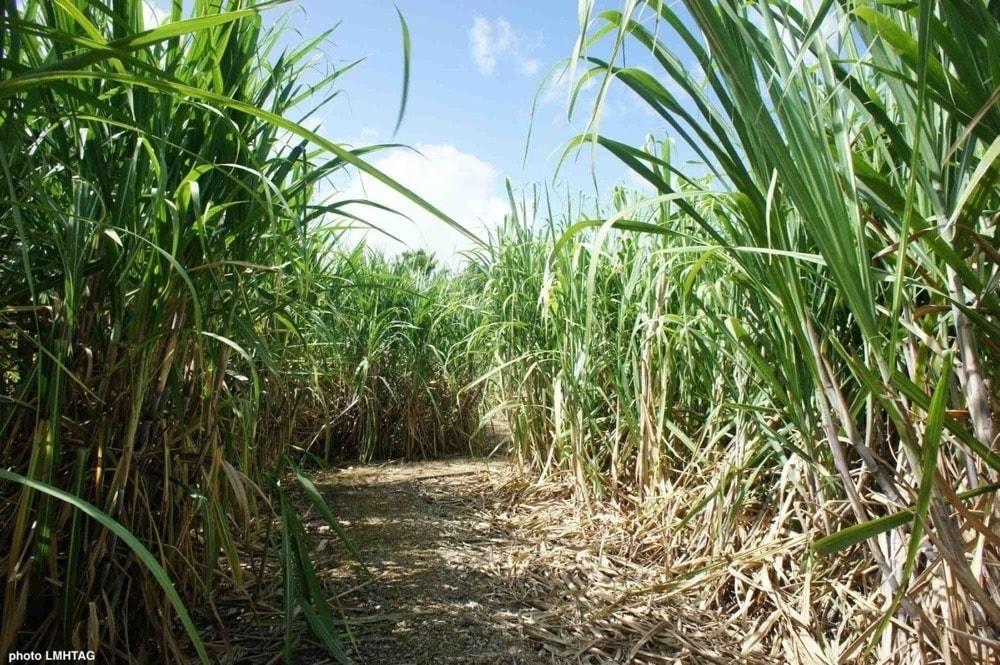 champ de canne à sucre en Guadeloupe